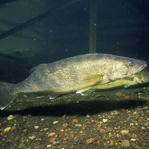 Walleye swimming underwater