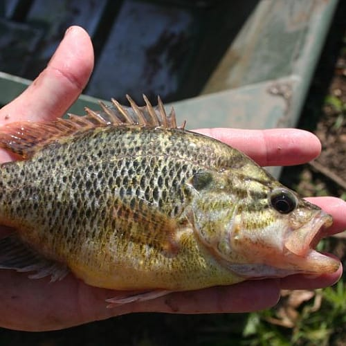 Warmouth fish in a person's hand