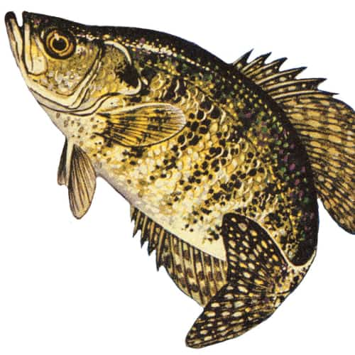 Illustration of a white crappie