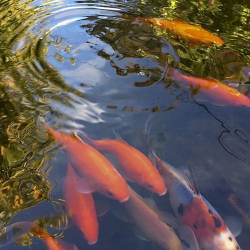 Goldfish swimming in a clean pond