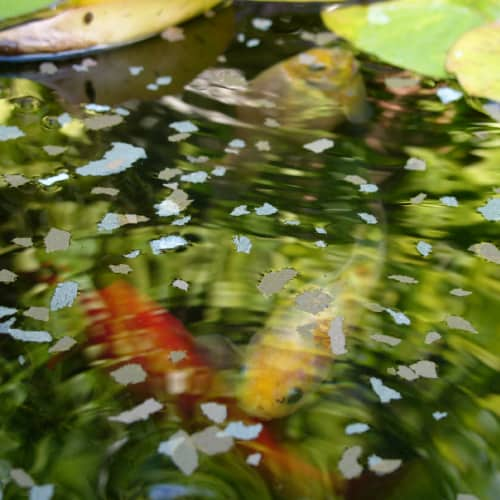 Fish food floating in a pond