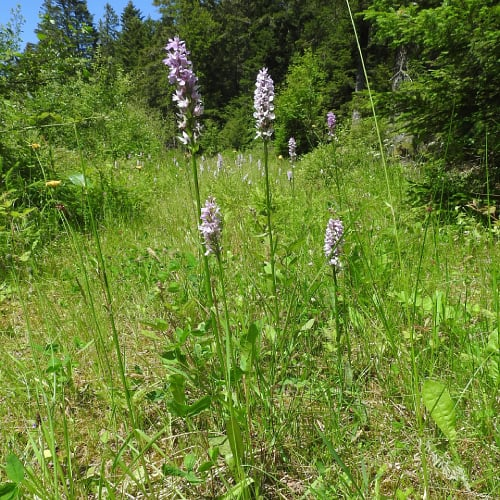 Marsh orchid plants in their natural habitat