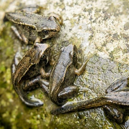Froglets resting on a rock