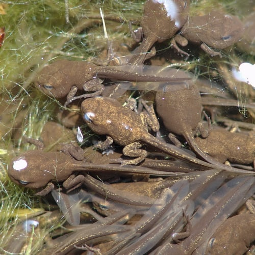 A group of limbed tadpoles underwater
