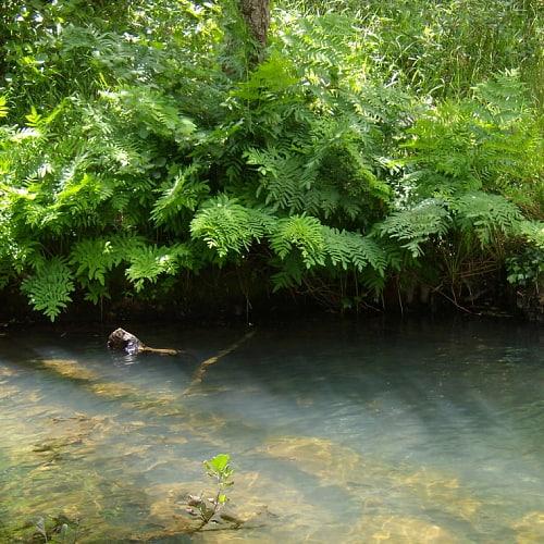 Royal fern plants by a river