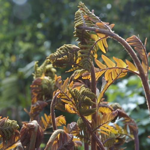 Royal fern's yellow fronds