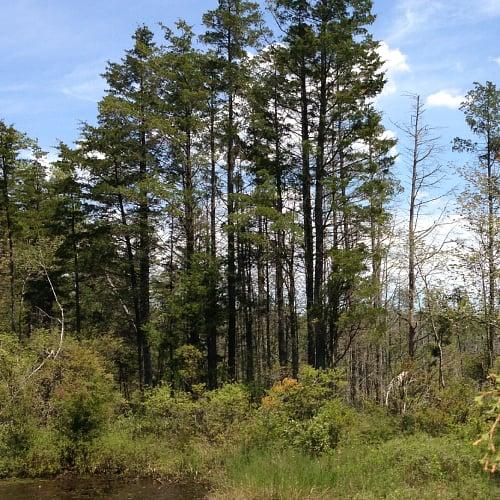 Atlantic white cedar trees by a bog