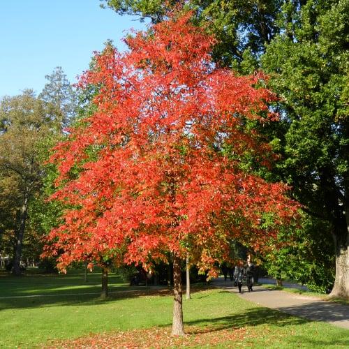 Black gum tree in a park
