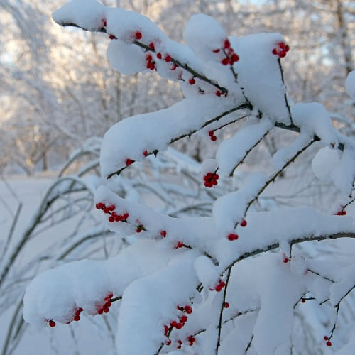 Common winterberry plant covered in snow