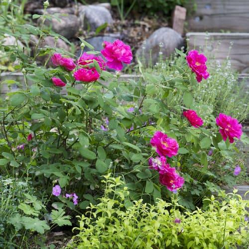 French rose shrub in a garden