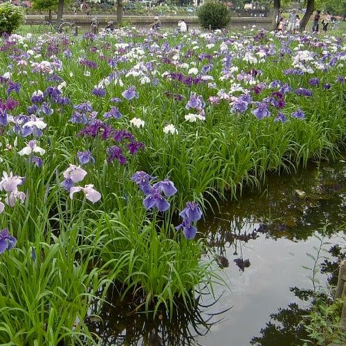 Japanese iris plants in water