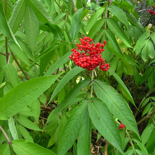 Red elderberry plant with fruits