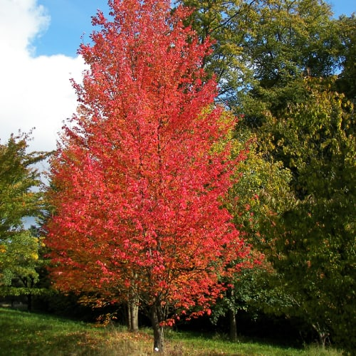 Red maple tree in a botanical garden