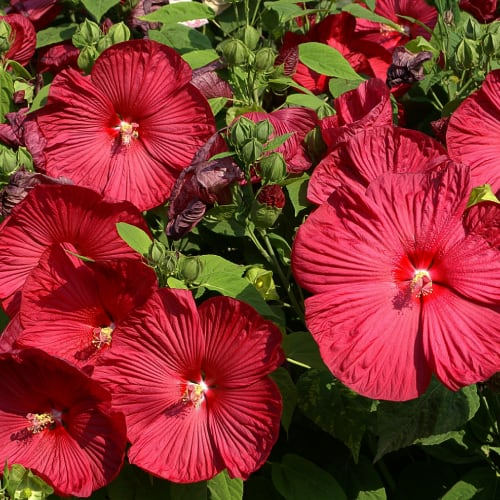 Large red flowers of the swamp hibiscus plant
