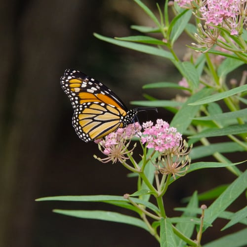 A monarch butterfly resting on swamp milkweed