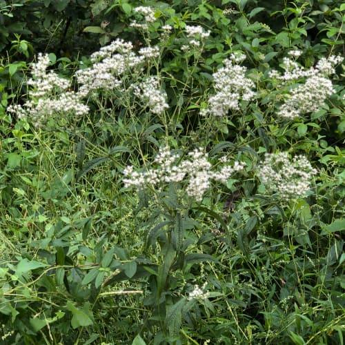 Boneset in bloom by a footpath