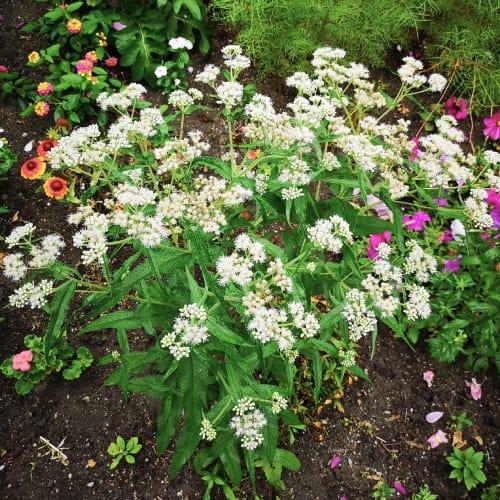Boneset plant in a garden
