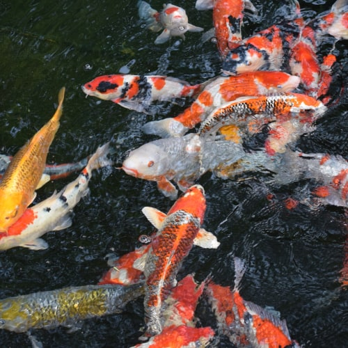A group of koi in a pond