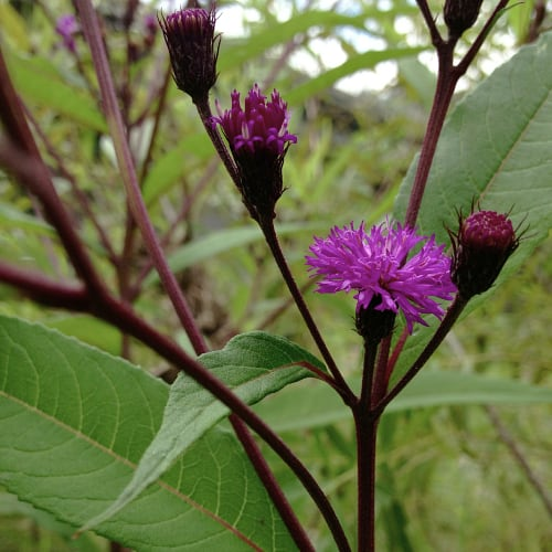 Ironweed stems & flowers