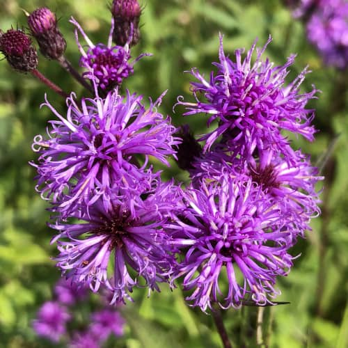 Ironweed in bloom