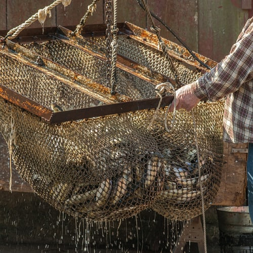 Alewife fish caught in a fishing net