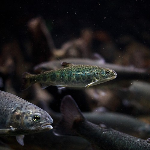 An Atlantic salmon smolt