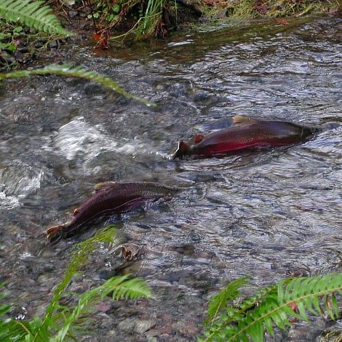 Coho salmon leaping out of the water