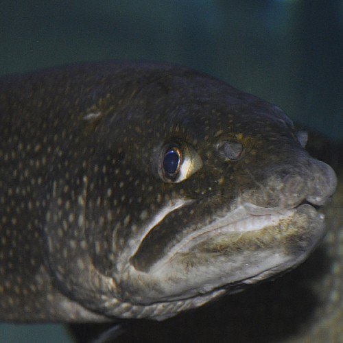 A close-up of a lake trout's head