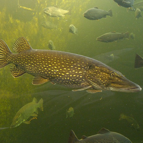 A northern pike swimming underwater