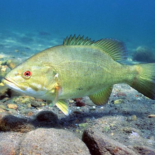 Smallmouth bass at the bottom of a lake