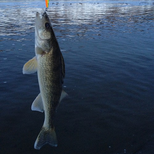 A walleye fish caught on a hook