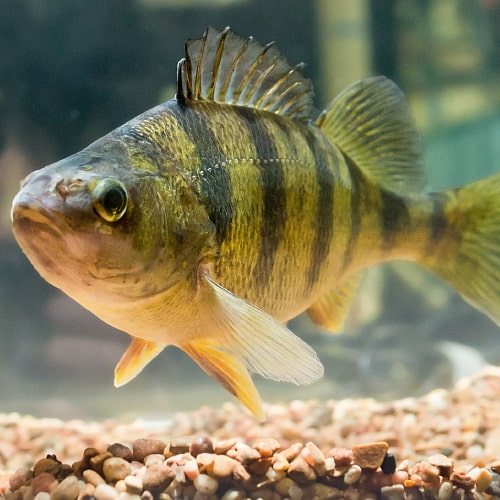 A fully mature yellow perch